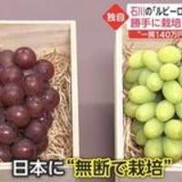 【悲報】韓国が日本の高級ブドウ「ルビーロマン」を盗んで栽培!自ら後進国であることをカミングアウト!「種苗法反対していた反日野党議員や有名人、なんか言え😡💢」